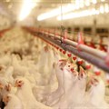 Western Cape set to get poultry sector going again