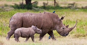 Legalising rhino horn trade: don't charge in blind