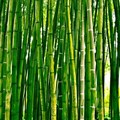 Bamboo - untapped green gold