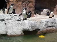 Penguins at the SA Marine Rehabilitation and Education Centre